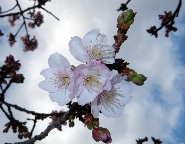 15.01.24熱海桜糸川桜まつり③
