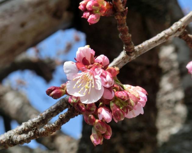 13.1.31糸川あたみ桜①