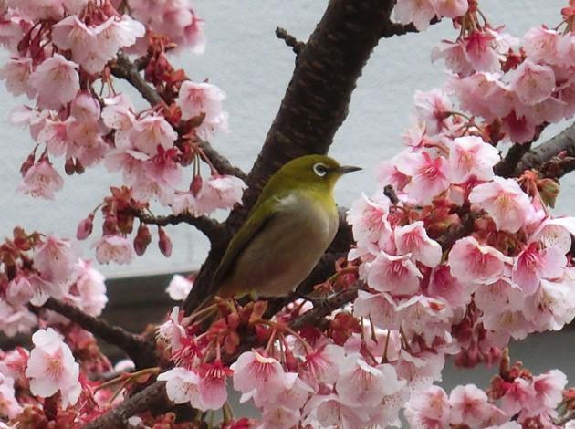 13.2.16満開のあたみ桜②