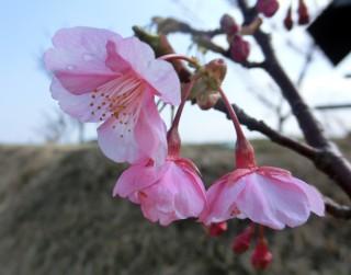 13.2.23埋立地の熱海桜?