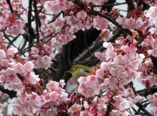 13.2.16満開のあたみ桜①