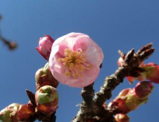 14.1.19あたみ桜①