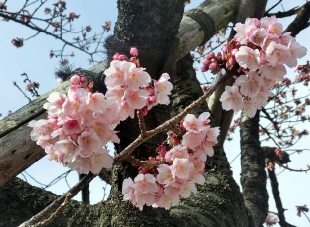 14.1.25第4回糸川桜まつり②