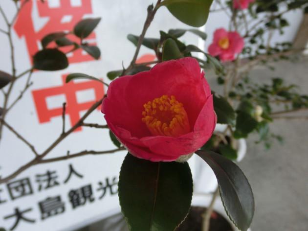 14.1.26伊豆大島椿まつり⑧