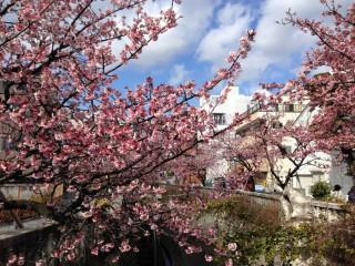 14.2.5糸川あたみ桜いい感じです。①