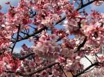 14.2.5糸川あたみ桜いい感じです。②